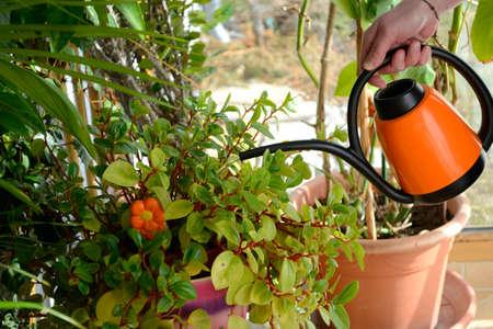 regando plantas: Mujer regando las plantas en la habitación