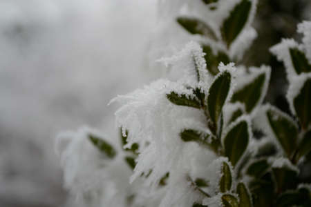 hoarfrost: Ice crystals by hoarfrost on Cherry Laurel