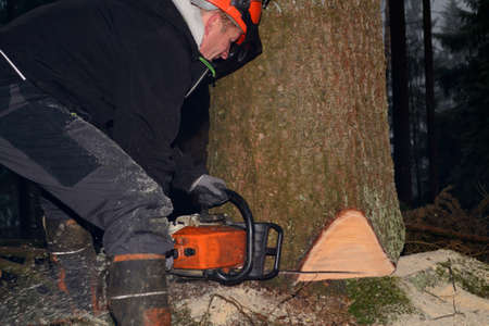 human source: Woodsman cuts to large spruce