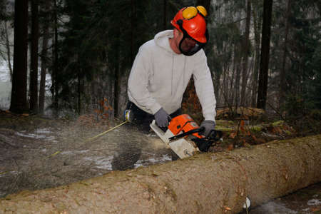forestry: Forestry worker measures and sawn tree trunk Stock Photo