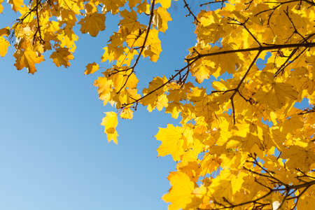discolored: Sun shines through intensely discolored fall leaves - Copy Space Stock Photo