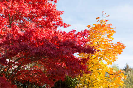 discolored: have intensely luminous deciduous trees, the discolored in autumn leaves