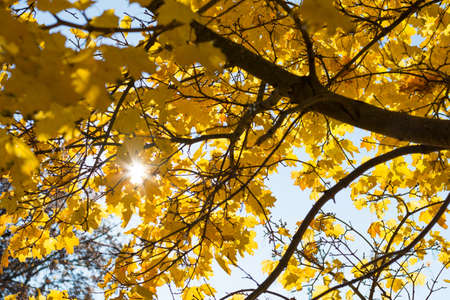 broadleaf: Sun rays shining through autumn discolored Deciduous