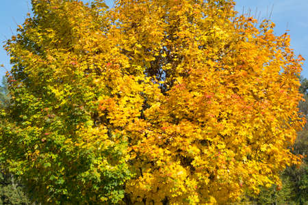 metamorphose: autumnal deciduous trees show up in other colors Stock Photo