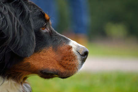 staunch: Side profile of a faithful dog looking Bernese Mountain Dog Stock Photo