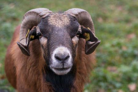 mouflon: Mouflon ram looks head-on into the camera