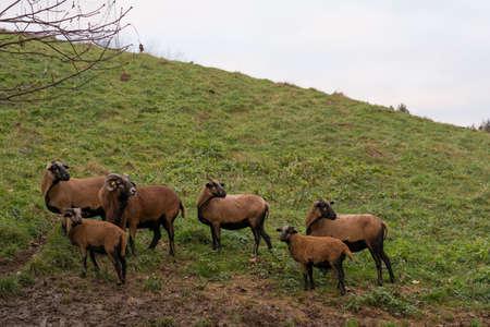 mouflon: a group mouflon in the pasture looks back together