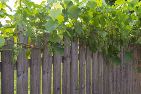 fenced in: green grapes along a garden fence Stock Photo