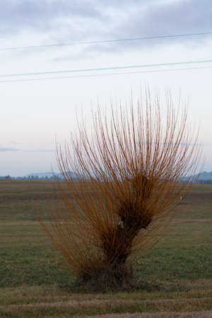 willow tree: old willow tree in the open countryside