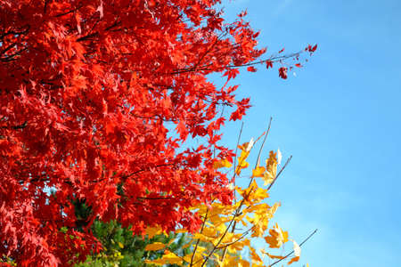 brilliant colors: rich, brilliant colors from maples Stock Photo