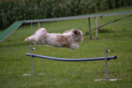 havanese: Havanese jump at dog training over hurdle Stock Photo