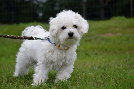 havanese: young white Havanese looking curiously to the camera Stock Photo