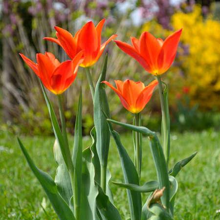 bicolored: bi-colored tulips in the meadow Stock Photo