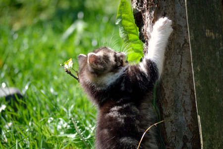 felis silvestris catus: young kitten trying climb up tree Stock Photo