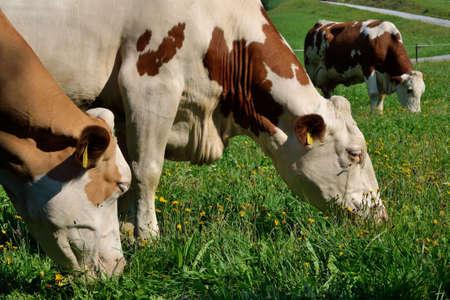 kine: Simmental in animal welfare on juicy meadow