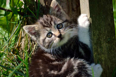 felis silvestris catus: little kitten playing in the garden and look in the camera