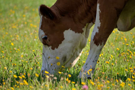 kine: Dairy cow eating grass on the lush pasture Stock Photo