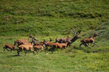 turn away: Deer and roebuck running on a meadow