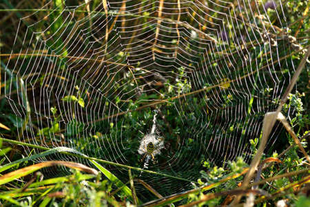 bruennichi: shining in the morning sunlight spiderweb with  wasp spider Stock Photo