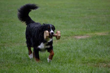 bernese dog: Bernese Mountain Dog brings piece of wood