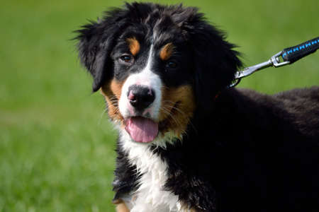 tri  color: Closeup of a leashed Bernese Mountain Dog Puppy