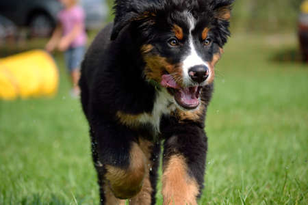 trustful: cutesy little Bernese mountain dog running on the lawn