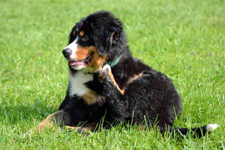drudgery: fluffy young Bernese Mountain dog scratching