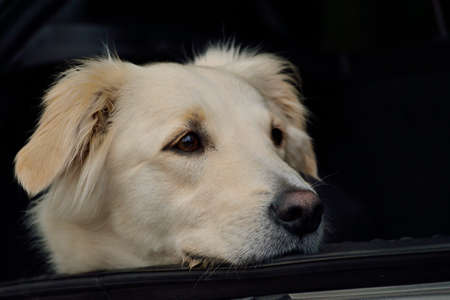 trusting: white golden retriever sitting in the trunk - portrait