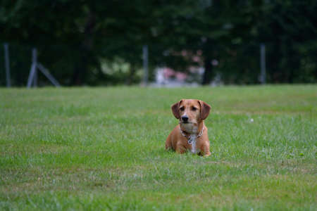 half breed: brown little dachshund is in the meadow, waiting