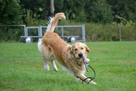 Golden Retriever retrieves quickly a game ball