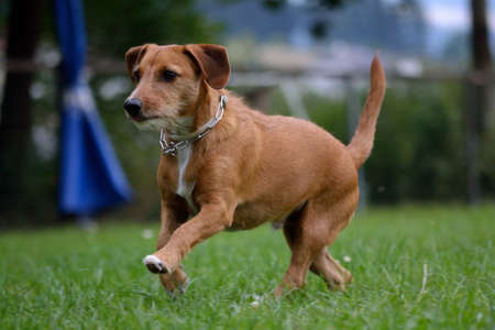 drudgery: brown dachshund running joyfully through the meadow