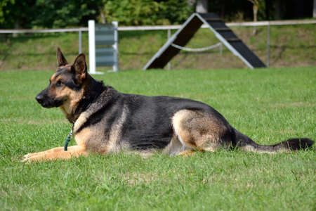trustful: German Shepherd Dog in the meadow - side profile