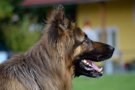 trusting: side Portrait image of a long-haired shepherd