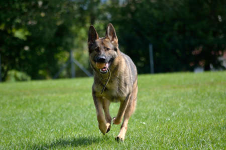 drudgery: German shepherd running with game ball - to retrieve