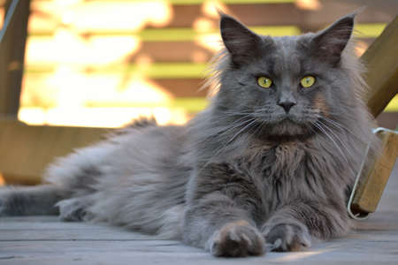 felis silvestris catus: A gray Maine coon is comfortably on the floor