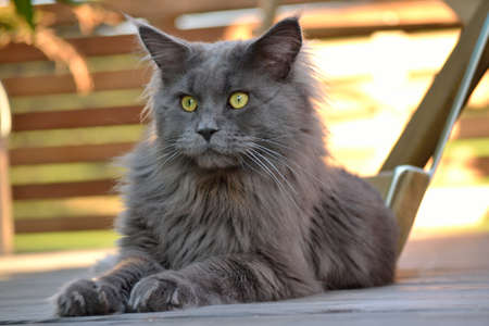 A gray Maine coon gazes intently to himself Stock Photo