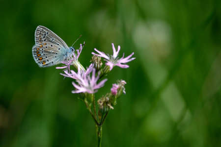 eros: Bluebird-butterfly on a flower - blurred background Stock Photo