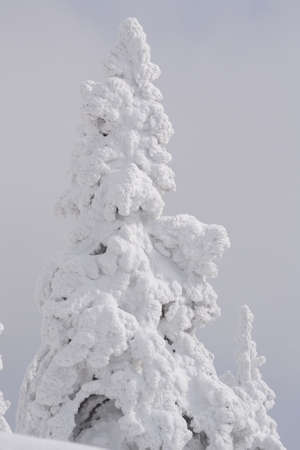 artic: snow-covered conifer - close up of pure snow Stock Photo