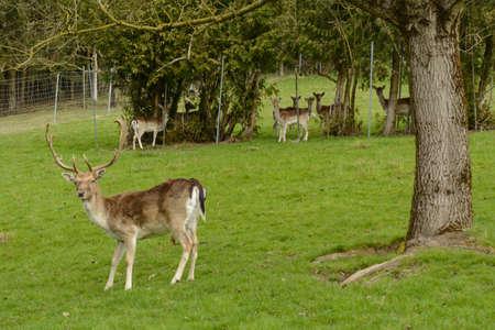 Wildlife - red deer and roe deer on juicy meadow Stock Photo