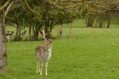 red deer and several deer on juicy green meadow