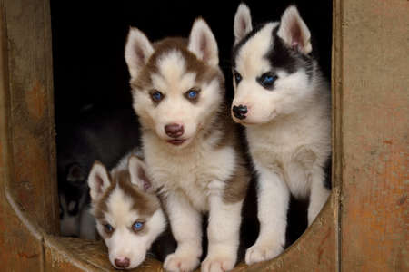 mushing: Husky puppies curious in their dog kennel - closeup