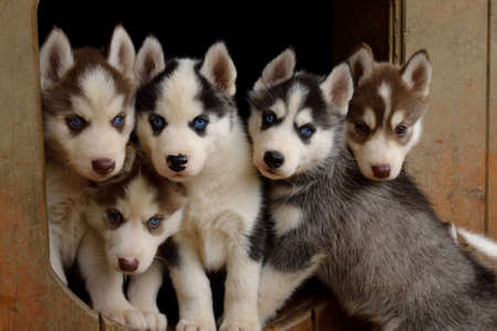 quintet: Husky Puppy Quintet looks frankly to the camera Stock Photo