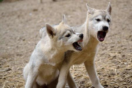 jerarqu�a: Hierarchy of husky puppies is negotiated - portrait Foto de archivo