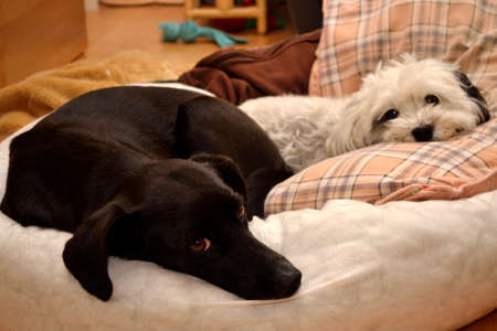staunch: Labrador and Havanese together in dog bed