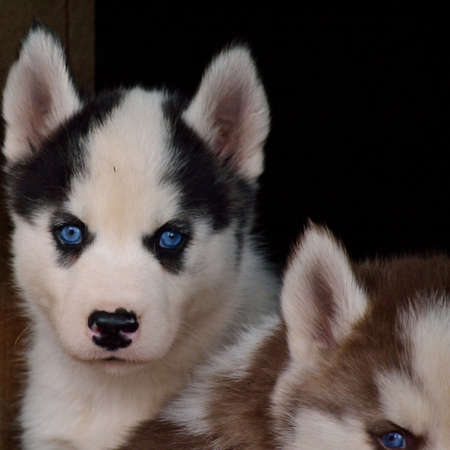 trustful: Curious Husky puppy with bright blue eyes Stock Photo