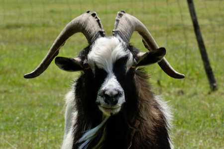 billygoat: Aries or ram is with imposing appearance towards the camera
