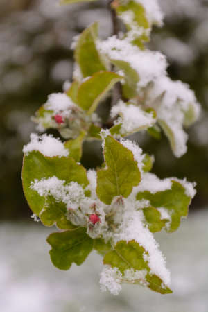 onset: blossoming apple tree covered with snow - Close-up