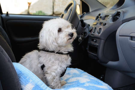 trustful: white dog leash as a passenger in the car Stock Photo