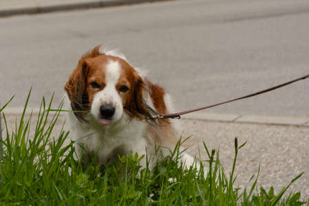 trustful: Sweet Cavalier King Charles Spaniel at the roadside