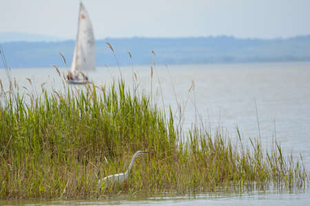 ciconiiformes: Ciconiiformes Heron in reed beds of Lake Neusiedl and sailboat - Austria